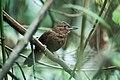 Clibanornis rufipectus - Santa Marta Foliage-gleaner.jpg