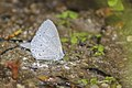 Close wing posture of Udara dilecta Moore, 1879 – Pale Hedge Blue. Butterflies of Talle valley - 9.jpg