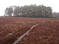 Clump of Scots pine north of Starpole Pond, New Forest - geograph.org.uk - 142519.jpg