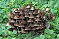 Clustered Bonnet Fungi (36400485770).jpg