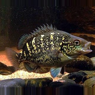 <i>Hephaestus carbo</i> Species of fish