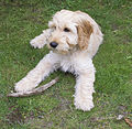 Cockapoo puppy aged approximately 3 months.jpg