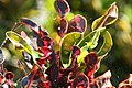 Codiaeum variegatum 11zz.jpg