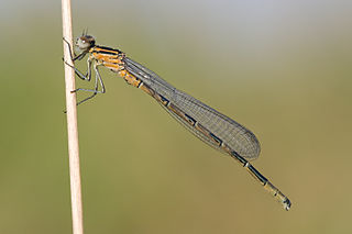 Coenagrion hastulatum, teneral male