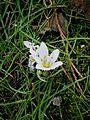 Colchicum hungaricum white 02.jpg
