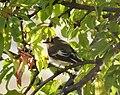 Collared Flycatcher hen . Ficedula albicollis (39268004675).jpg