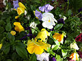 Colorful pansies at the Genevieve Green Gardens at the Ewing Cultural Center.jpg