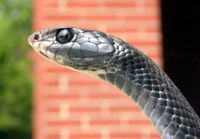 An extreme close-up of a black racer's head: black eyes and a pointed snout are featured.