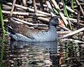 Common Gallinule (34056440806).jpg