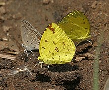 Common Grass Yellow (Eurema hecabe) in Kawal WS, AP W IMG 1779.jpg