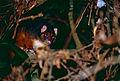 Common Ringtail (Pseudocheirus peregrinus) (10021574963).jpg