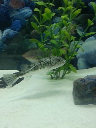 Common toadfish - Image: Common Toadfish