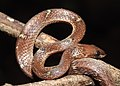 Common Wolf Snake Lycodon aulicus by Dr. Raju Kasambe DSCN7762 (26).jpg