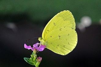 Eurema hecabe - E. h. solifera Ghana
