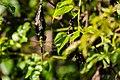 Common green darner (36835622560).jpg