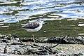 Common greenshank (Tringa nebularia) 29.jpg