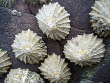 A group of live Patella vulgata on a rock in Wales