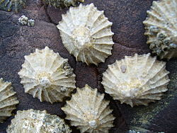 http://upload.wikimedia.org/wikipedia/commons/thumb/f/f4/Common_limpets1.jpg/250px-Common_limpets1.jpg
