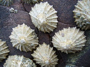 Limpet - The true limpet species Patella vulgata on a rock surface in Wales