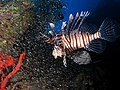 Common lionfish hunting glassfish at El Mina wreck.JPG