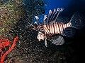 Common lionfish hunting glassfish at El Mina wreck.JPG