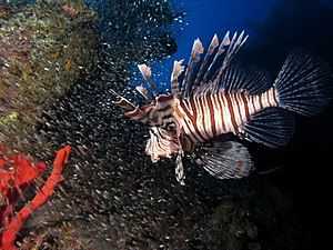 Pterois - Pterois miles hunting glassfish