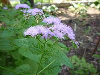 C. coelestinum, blåflockel