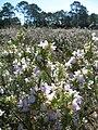 Conradina in field Carrabelle.jpg