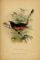 Картина с изображением длиннохвостой, чёрной, оранжевообрюхой птицы