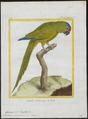 Conurus canicularis - 1700-1880 - Print - Iconographia Zoologica - Special Collections University of Amsterdam - UBA01 IZ18500169.tif