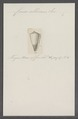 Conus albicans - - Print - Iconographia Zoologica - Special Collections University of Amsterdam - UBAINV0274 086 09 0020.tif