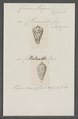 Conus magus - - Print - Iconographia Zoologica - Special Collections University of Amsterdam - UBAINV0274 087 02 0008.tif