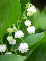 http://upload.wikimedia.org/wikipedia/commons/thumb/f/f4/Convallaria_majalis0.jpg/150px-Convallaria_majalis0.jpg
