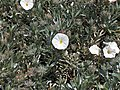 Convolvulus cneorum.jpg