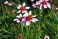 Coreopsis rosea Sweet Dreams 5zz.jpg