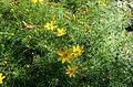 Coreopsis verticillata kz1.jpg