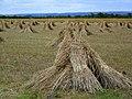 Corn Stooks near King's Somborne - geograph.org.uk - 889976.jpg