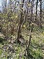 Cornus mas, Cornaceae 01.jpg