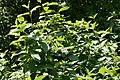 Cornus sericea Flaviramea 1zz.jpg