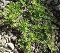 Coronopus didymum plant (08).jpg