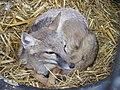 Corsac fox (5675261457).jpg