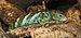 Corucia zebrata 01.JPG