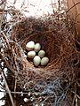 Corvus corone-Nest (retouched).jpg