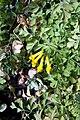 Corydalis lutea 12zz.jpg