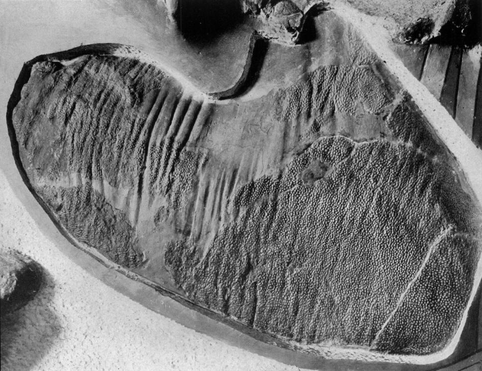 Corythosaurus skin impression