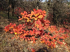 Cotinus coggygria Скумпия кожевенная European smoketree.jpg
