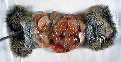Cotton rat infected with Echinococcus multilocularis 3MG0020 lores.jpg