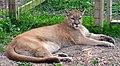 Cougar (3912931593).jpg