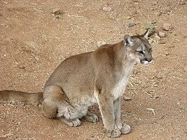 Cougar arizona
