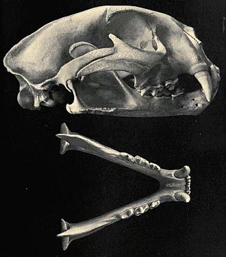 Cougar - Cougar skull and jawbone